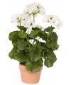 Witte Geranium in pot 35 cm